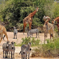 Northern Circuit - Tanzania Safari Package (5 Nights)